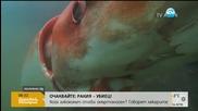 Гигантска сепия изплува край бреговете на Япония