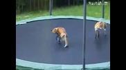 Лисици скачат на батут !