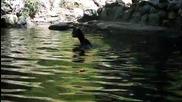 Прасе спасява давещо се малко козле във водата!