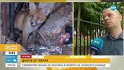 Семейство лисици се настани в мазето на столично училищe