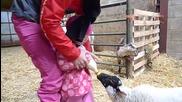 Ева кормит козочку на ферме