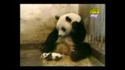 Стрестната Панда