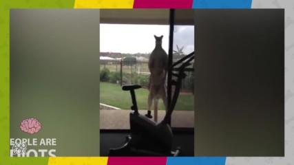 Лудото кенгуру отвръща на удара! :D