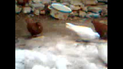 Гълабите на Димо от Градина