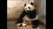 Смях! Бебе Панда плаши майка си