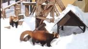 Червени панди си играят в снега