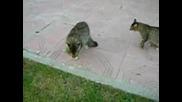 Котки Взаимно Се Дразнят