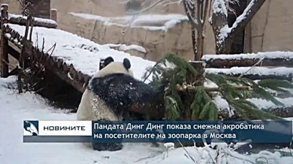 Пандата Динг Динг показа снежна акробатика на посетителите на зопарка в Москва