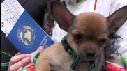 Russia: Putin sends chihuahua to displaced Donetsk girl in in Sevastopol