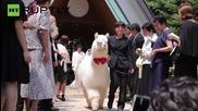 Алпака носи годежните пръстени в Япония!