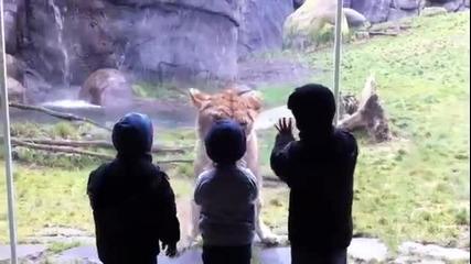 Ужас! Лъвица Иска Да Изяде Дете