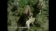 Кангалите живеят с Тигри