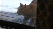 Домашна котка реагира остро срещу любопитен рис