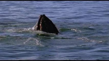 Гърбати китове ..