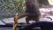 Маймунки се опитват да вземат банан през стъкло!смях!