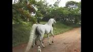 Horses Arabian# 2