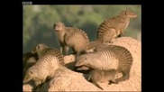 Banded mongooses grooming and looking out for danger - Bands on the Run - Bbc