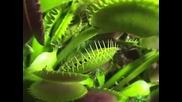 Хищно растение изяжда гол охлюв