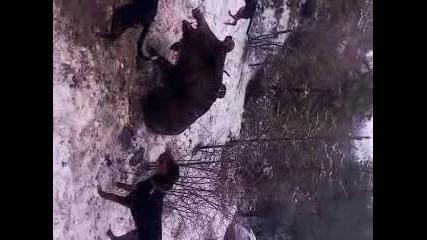 Български трицветни гончета (реален лов 1 )
