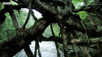 мост от живо дърво