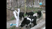 Чудо! Коза роди 4 ярета - каратисти
