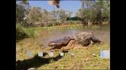 Австралийци крадат яйца от алигатори