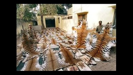 Tigers life,one-powerful cat