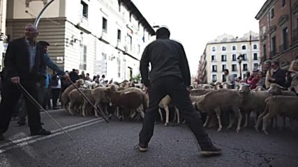 What the flock!? Thousands of sheep take over Madrid in annual parade