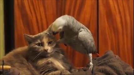 Досаден папагал си играе с търпението на котка