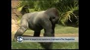 Проект в защита на горилите стартира в Лос Анджелис
