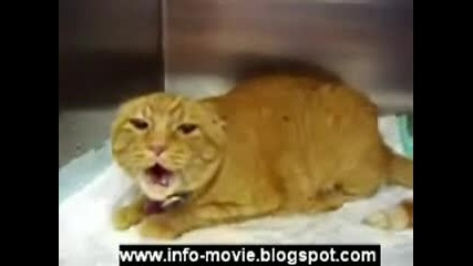 Уплашена И Разярена сладка Котка