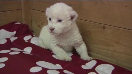 Бяло Лъвче се опитва да ръмжи .. Сладур ..