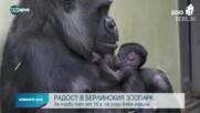В БЕРЛИНСКИЯ ЗООПАРК: За пръв път от 16 г. се роди бебе горила
