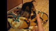 зло куче - йоркширски териер на 4 месеца