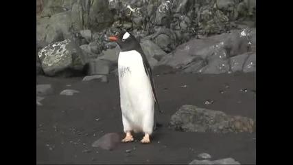 Тези пингвини са с много лошо зрение (смях)
