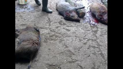 на лов за диви свине : с.ботуня