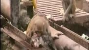 Маймуна спасява приятеля си от смърт