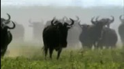Антилопи - Животът на антилопа