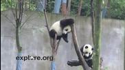 Сладки пандички се правят на маймунки
