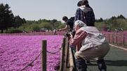 Japan: Visitors flock to stunning shibazakura flower festival close to Mount Fuji amid pandemic