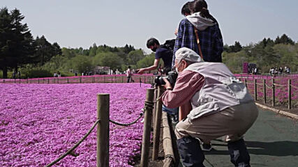 Japan: Visitors flock to stunning shibazakura flower festival close to Mount Fuji amid pandemic