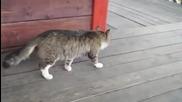Коте със смешна походка.
