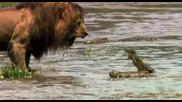 Лъв плаши Крокодил!