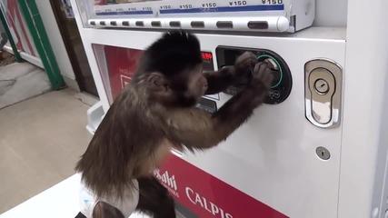 Маймунка си пуска сок от автомат