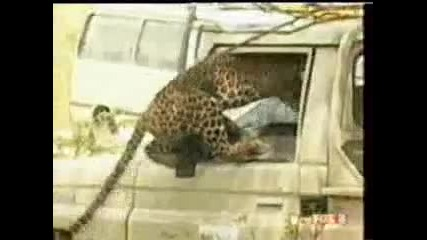 ядосан леопарт