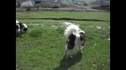 Работни Овчарски кучета