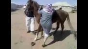 Вижте защо Арабите не яздят коне а камили