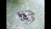 Крещяща Жаба И Коте