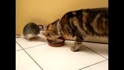 Котка и Плъх Пиенето на мляко Заедно Hd [original]