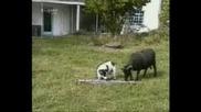 Куче И Овен...